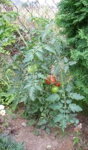 Renegade Guerilla Garden Planted Tomato
