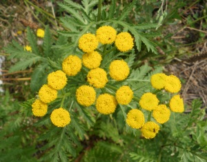 Yellow Yarrow Weed