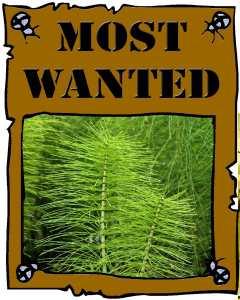 Guerilla Garden Horsetail Most Wanted Poster