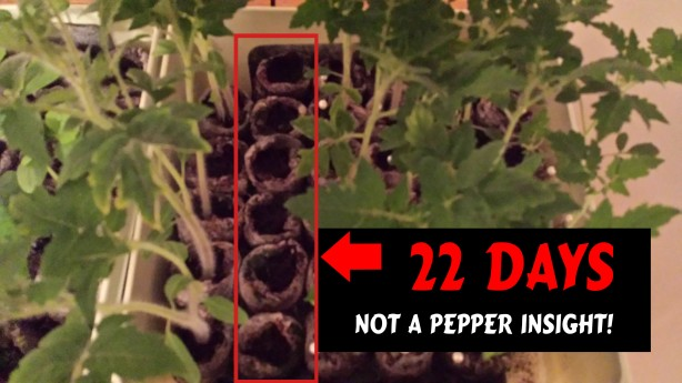Guerilla Garden_PepperUpdate_22Days