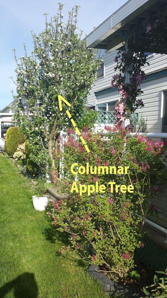 Columnar_Colannade_Apple_Tree