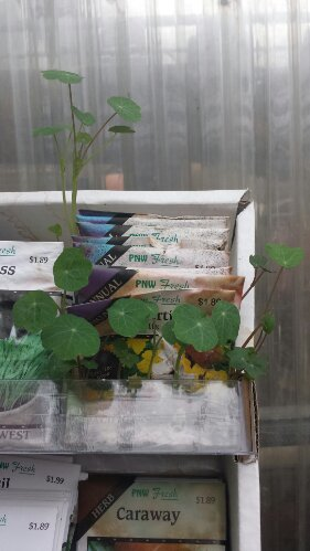 Nasturtium-seed-packet-sprouting